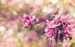 桃红色苹果树花葡萄酒照片  浅深度的域 免版税库存照片