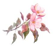 桃红色苹果树花 水彩手画图画 图库摄影