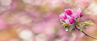 桃红色苹果树葡萄酒照片在春天开花 浅dept 免版税库存照片