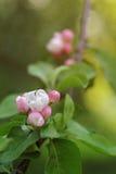 桃红色苹果花和芽开花 库存照片