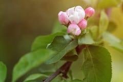 桃红色苹果花和芽开花 免版税库存照片
