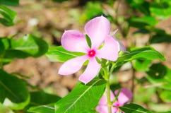 桃红色荔枝螺花,长春花属roseus G.唐。 免版税库存照片