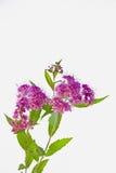 桃红色荚莲属的植物tinus开花 库存图片
