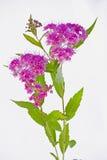 桃红色荚莲属的植物tinus特写镜头 免版税库存图片