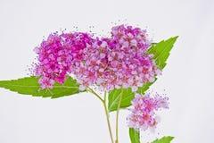 桃红色荚莲属的植物tinus 免版税库存照片