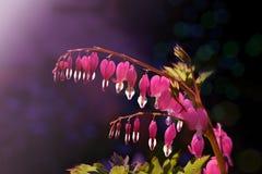 桃红色荷包牡丹属植物或心脏打破的花在黑暗的背景在阳光下 库存图片