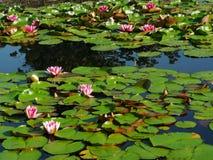 桃红色荷花和他们的叶子 免版税图库摄影