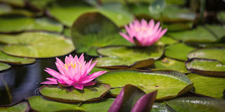 桃红色荷花和睡莲叶在池塘 免版税库存图片
