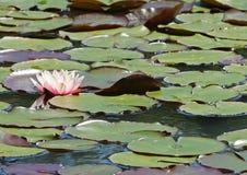 桃红色荷花和睡莲叶在湖 免版税库存照片