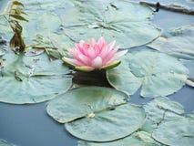 桃红色荷花的照片,围拢用叶子和水 免版税库存照片