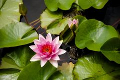 桃红色荷花,与绿色叶子的桃红色莲花 免版税库存图片