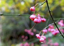桃红色莓果在秋天森林里 免版税库存图片