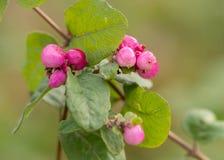 桃红色莓果特写镜头在灌木的在秋天 库存照片