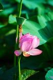 桃红色莲属nucifera 免版税库存照片