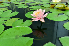 桃红色莲花叶子绿色 图库摄影
