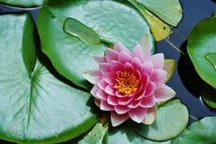 桃红色莲花和睡莲叶在池塘 免版税库存图片