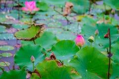 桃红色莲花和自然绿色叶子在荷花池的 库存照片