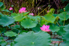 桃红色莲花和自然绿色叶子在荷花池的 图库摄影