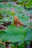 桃红色莲花和自然绿色叶子在荷花池的 免版税库存照片