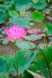 桃红色莲花和自然绿色叶子在荷花池的 库存图片
