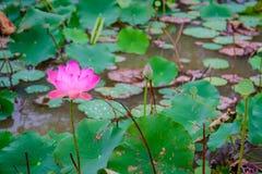 桃红色莲花和自然绿色叶子在荷花池的 免版税库存图片
