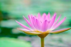 桃红色莲花在一个美妙地开花的池塘早晨 库存图片