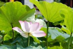 桃红色莲花在夏天 库存照片