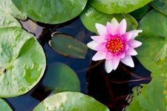 桃红色莲花在平安的池塘,顶视图 免版税图库摄影