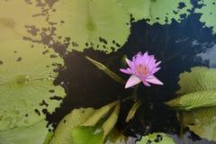 桃红色莲花在水中 免版税库存图片