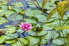 桃红色莲花在水表面上开花 免版税库存照片
