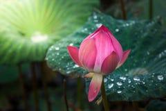 桃红色莲花在池塘调遣在自然 图库摄影