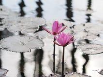 桃红色莲花在湖 图库摄影