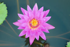 桃红色莲花在盐水湖 免版税库存图片