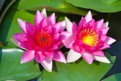 桃红色莲花在盐水湖 库存图片