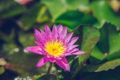 桃红色莲花在自然背景中和绿叶新鲜与葡萄酒过滤 免版税库存照片