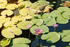 桃红色莲花在荷花池在一个晴天 库存图片