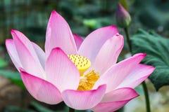 桃红色莲花在荷花池 免版税库存照片