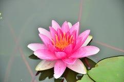 桃红色莲花在阳光下 免版税库存照片