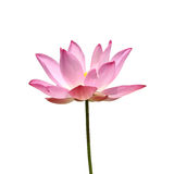 桃红色莲花开花。 图库摄影