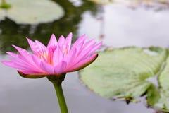 桃红色莲花开花和莲花叶子有绿色的在水中 库存照片
