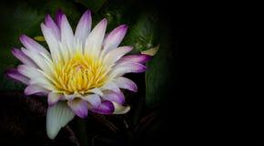 桃红色莲花开花和黑空间 图库摄影