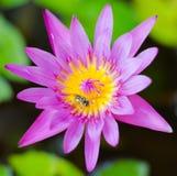 桃红色莲花开花或荷花开花开花在池塘,桃红色 免版税库存图片