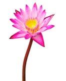 桃红色莲花开花或荷花花开花 库存照片