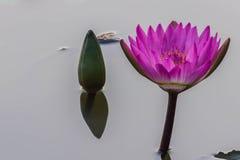 桃红色莲花开花或荷花花 库存图片