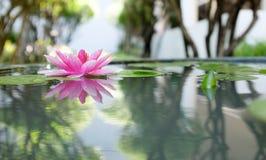 桃红色莲花或荷花在池塘 免版税库存图片
