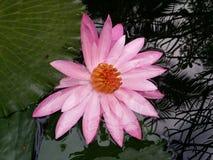 桃红色莲花是盛开,非常美好 免版税图库摄影