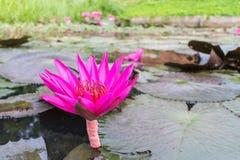 桃红色莲花有叶子背景 免版税库存照片
