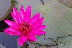 桃红色莲花有叶子背景 库存图片