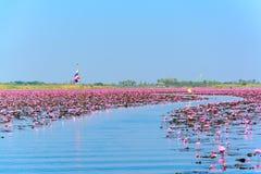 桃红色莲花海在乌隆他尼,泰国 免版税库存照片