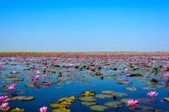 桃红色莲花海在乌隆他尼,泰国 库存图片